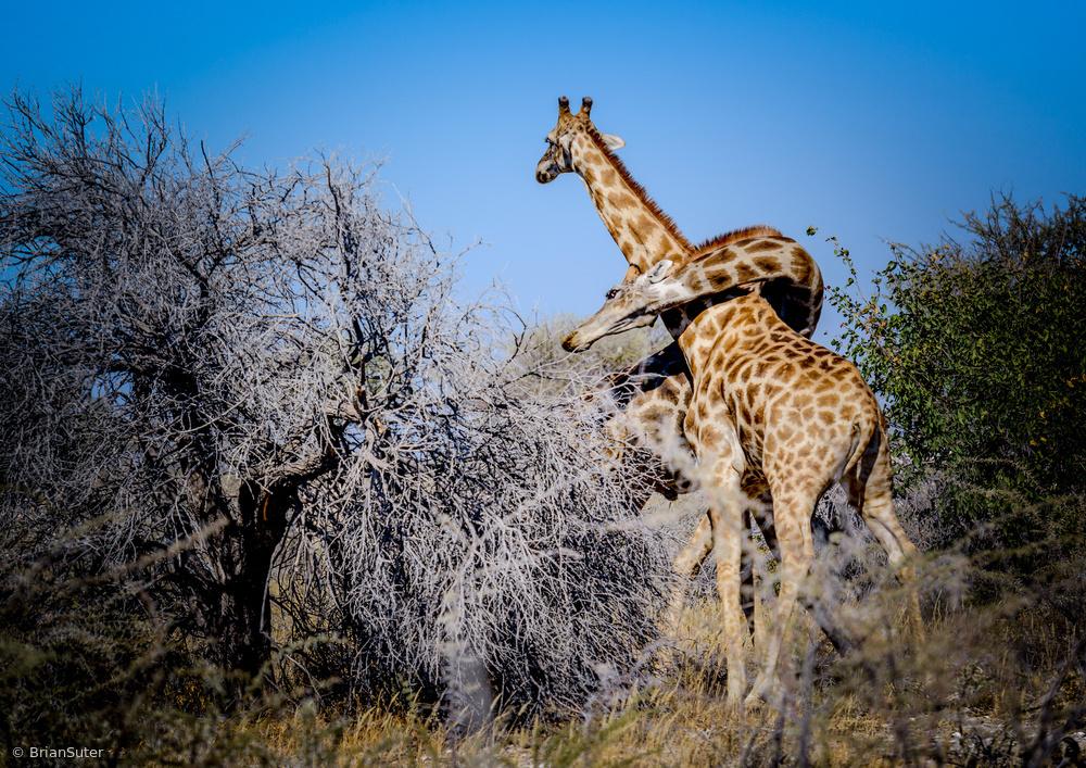 Fotokonst Necking in Etosha