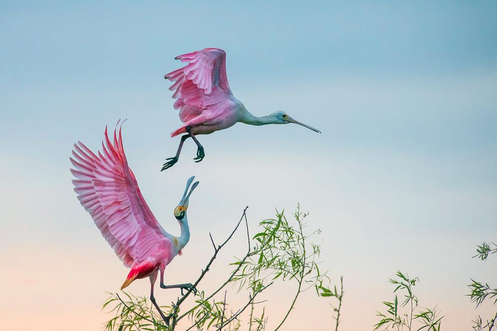 Fotokonst Rosy pair (Roseate Spoonbills)