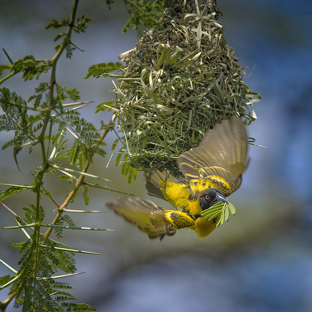 Fotokonst Yellow Weaver Finch