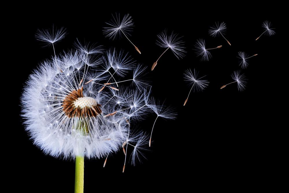 Fotokonst Dandelion Blowing