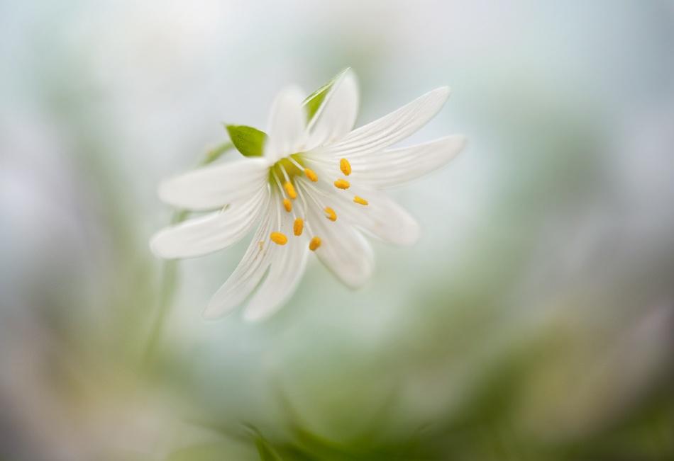 Poster Spring Stitchwort