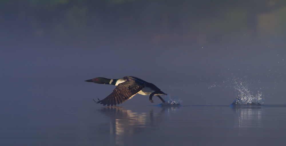 Poster Common loon skip