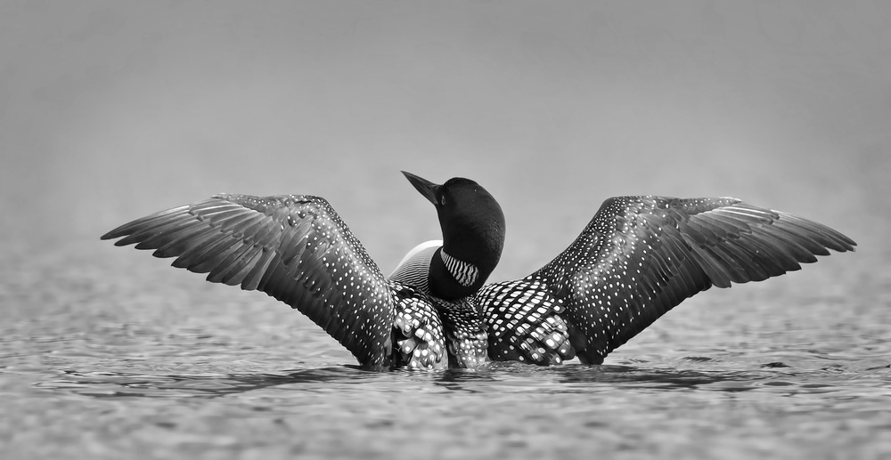 Poster Common loon in black and white