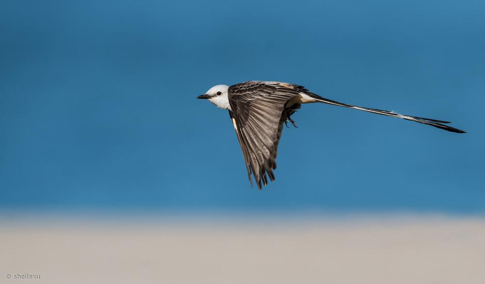 Fotokonst Scissor-tailed flycatcher