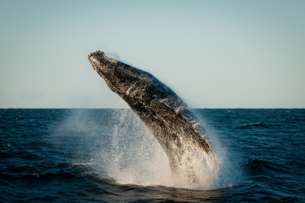 Poster Rocketing humpback whale