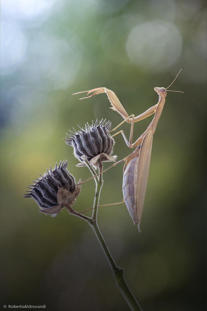 Fotokonst La danza della mantide