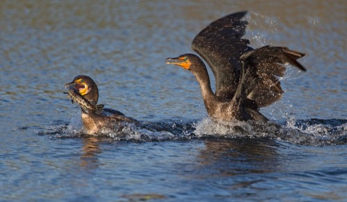Bird Fight !!! by Alfred Forns