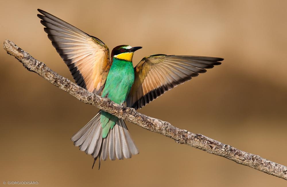 Fotokonst Bee-eater