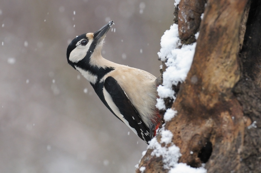 Poster great spotted woodpecker and first snow