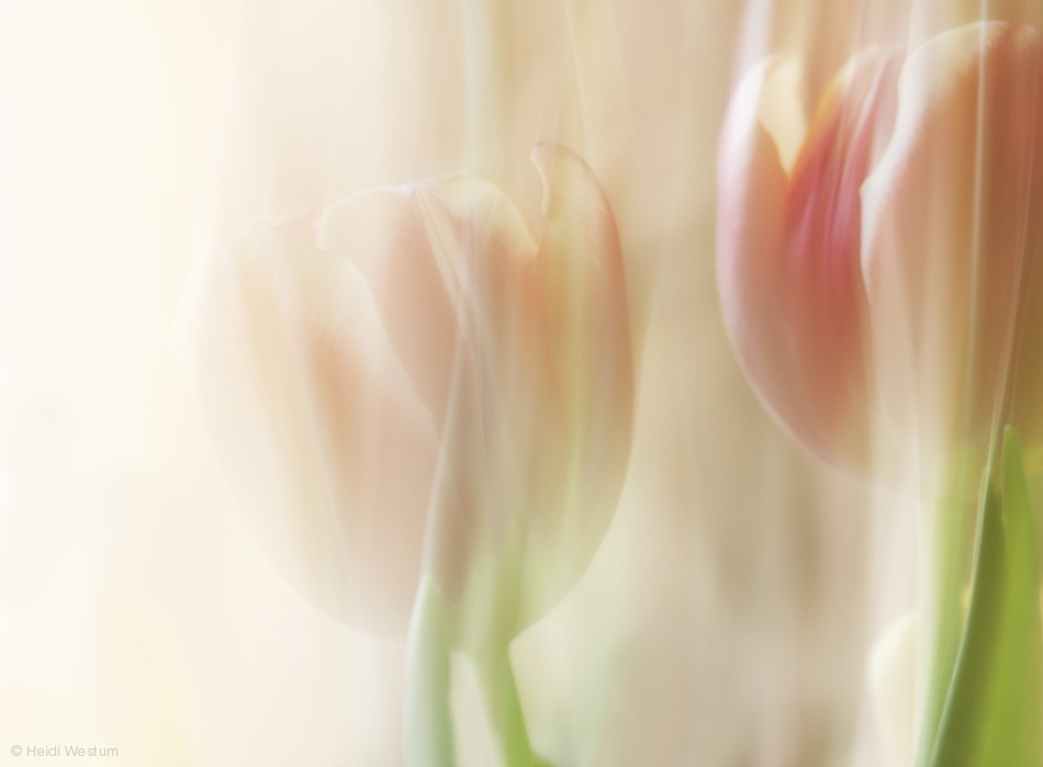 Poster Shy tulips