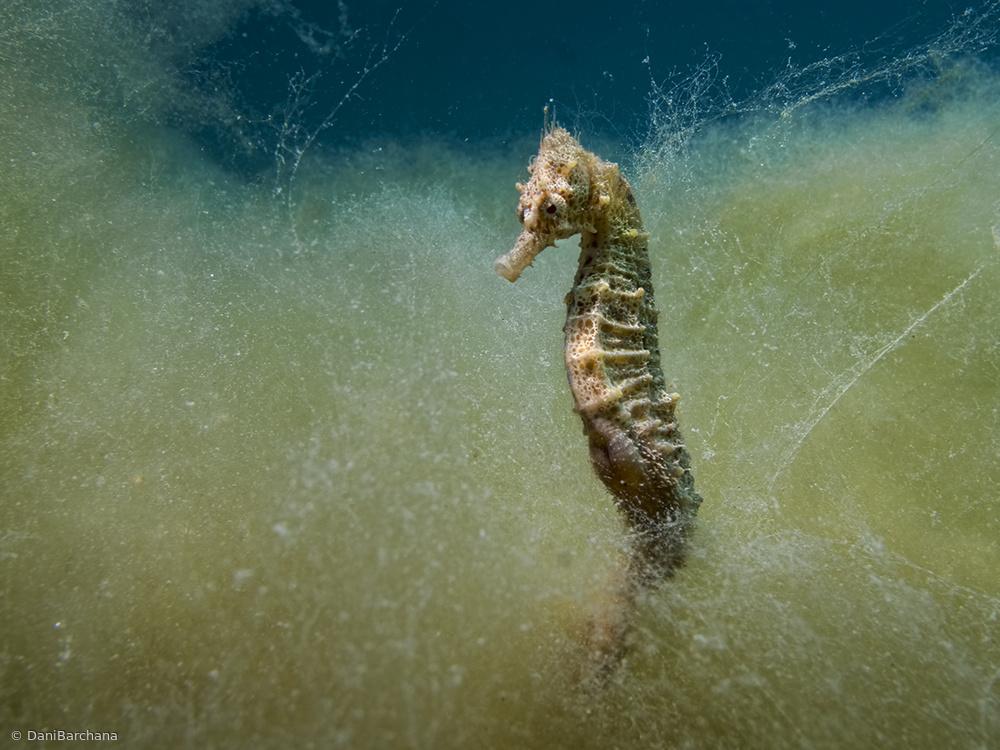 Fotokonst Seahorse in a sea of seaweed