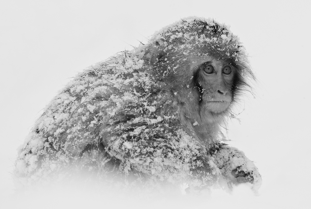 Fotokonst Snow Monkey