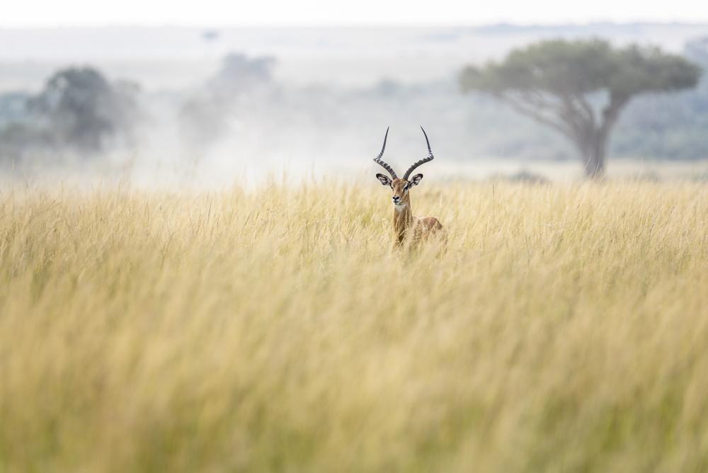 Fotokonst Sweet and lovely impala in Masai Mara