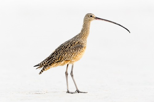 High-Key Curlew by Greg Forcey