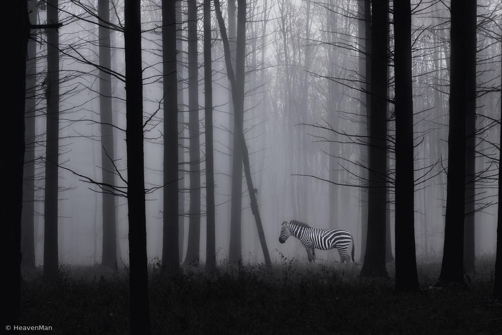 Fotokonst Grey zebra in the mist...