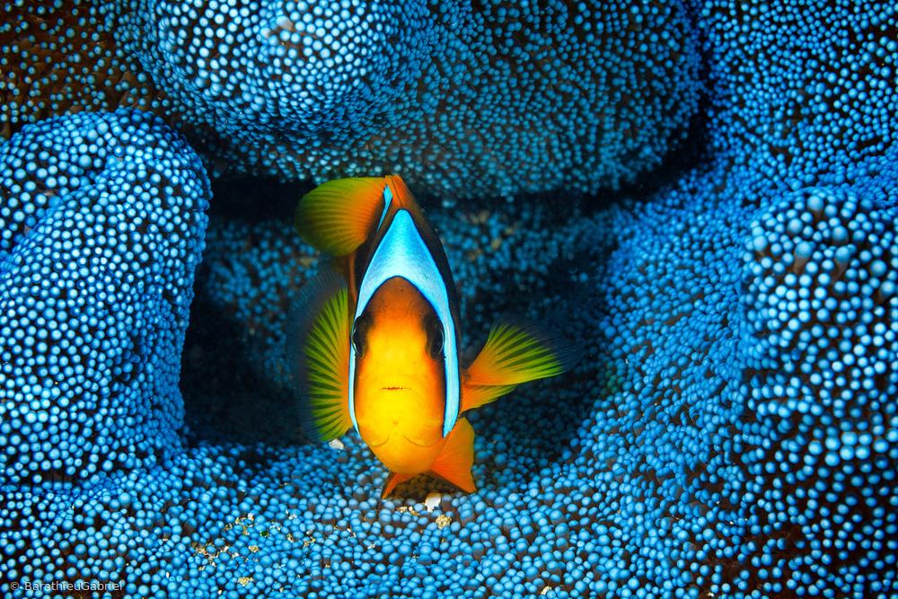 Fotokonst Clownfish in blue anémon