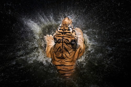 Tiger Splash by Win Leslee