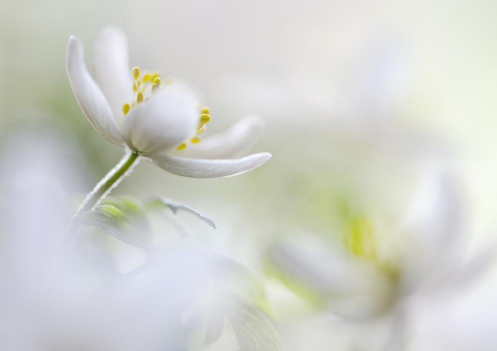 Poster White Spring