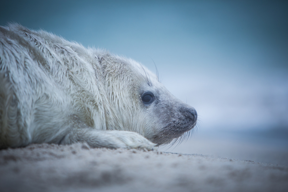 Fotokonst Baby Seal