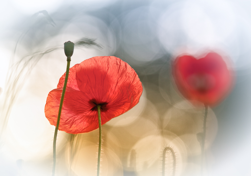 Poster Morning Poppies