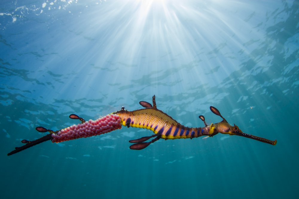 Fotokonst Weedy Seadragon in the Light