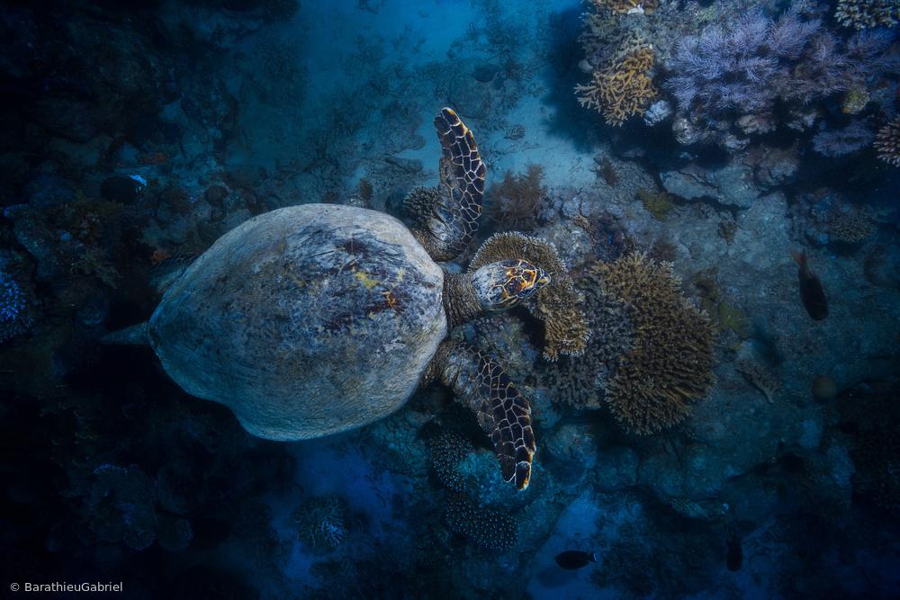 Fotokonst Hawksbill sea turtle