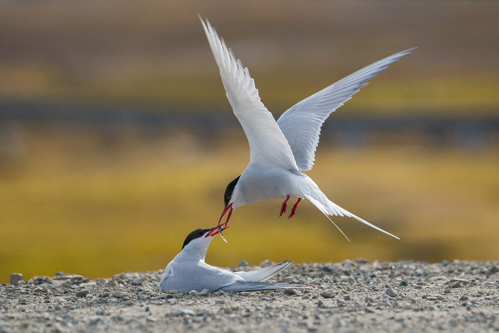 Fotokonst Arctic terns