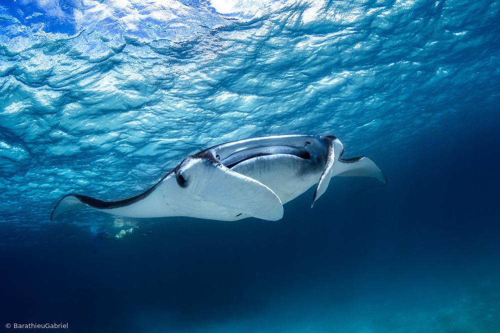 Fotokonst Manta ray