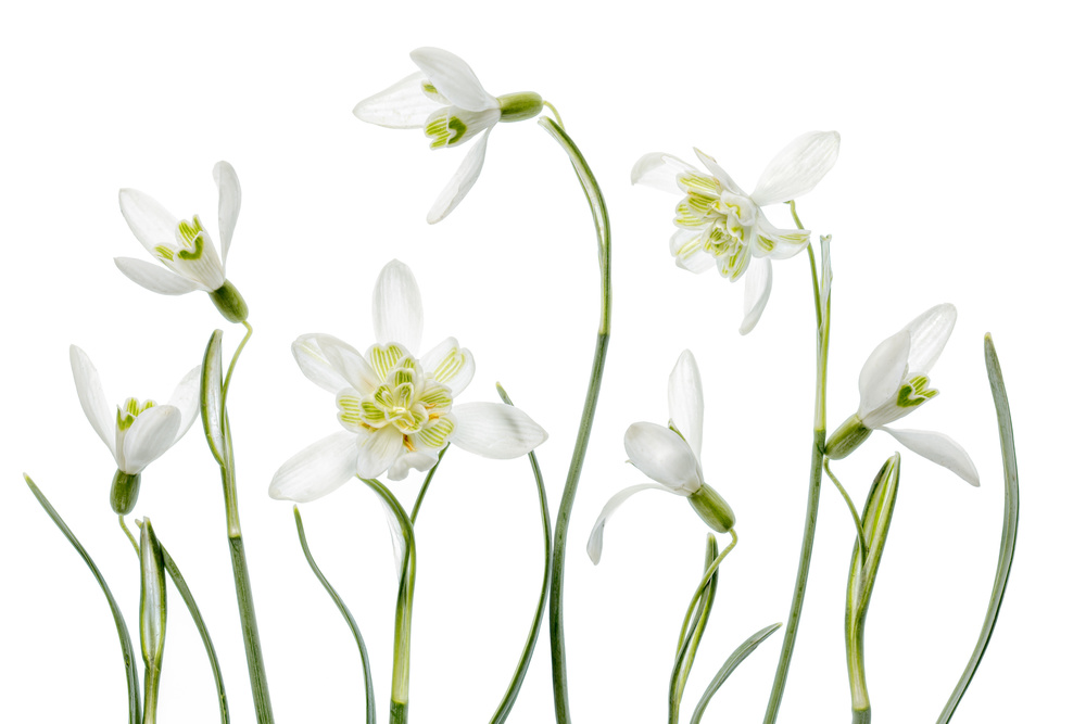 Poster Spring Snowdrops