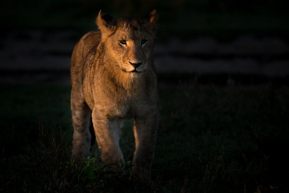 Poster Cub at morning