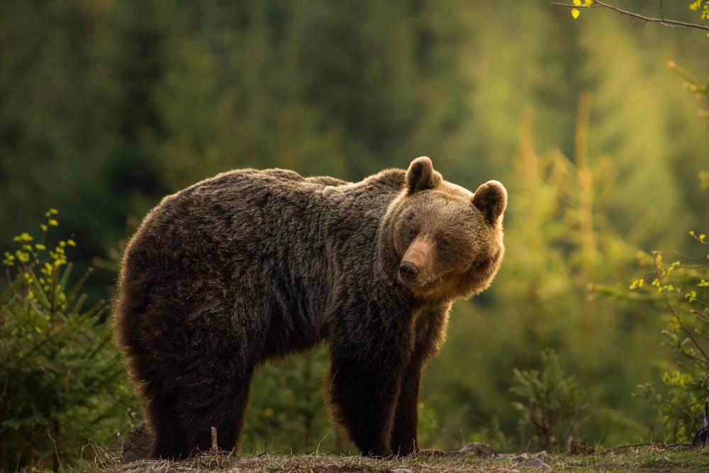 Fotokonst Backlit bear