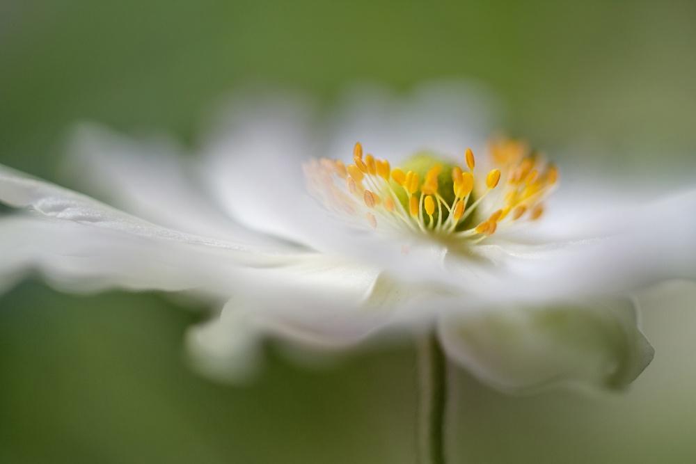 Poster White Anemone