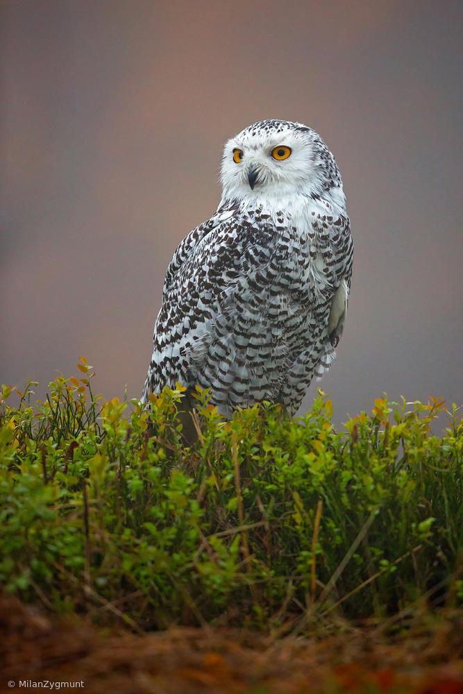 Fotokonst Snowy Owl