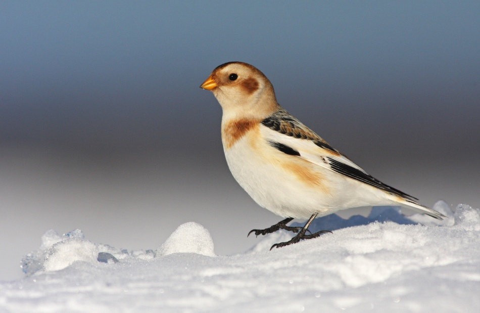 Poster Snow Bunting (Plectrophenax nivalis)