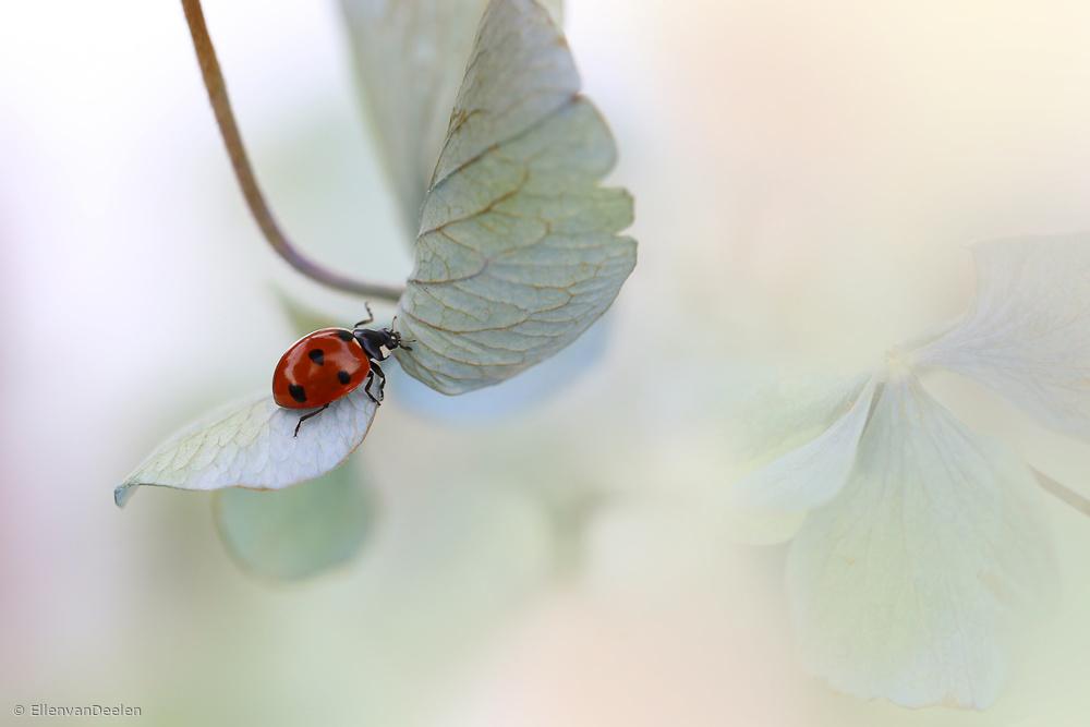 Fotokonst Ladybird on blue-green hydrangea