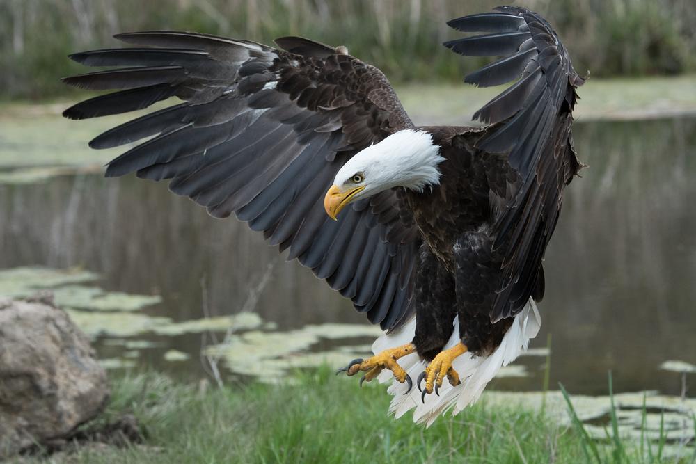 Fotokonst Bald Eagle