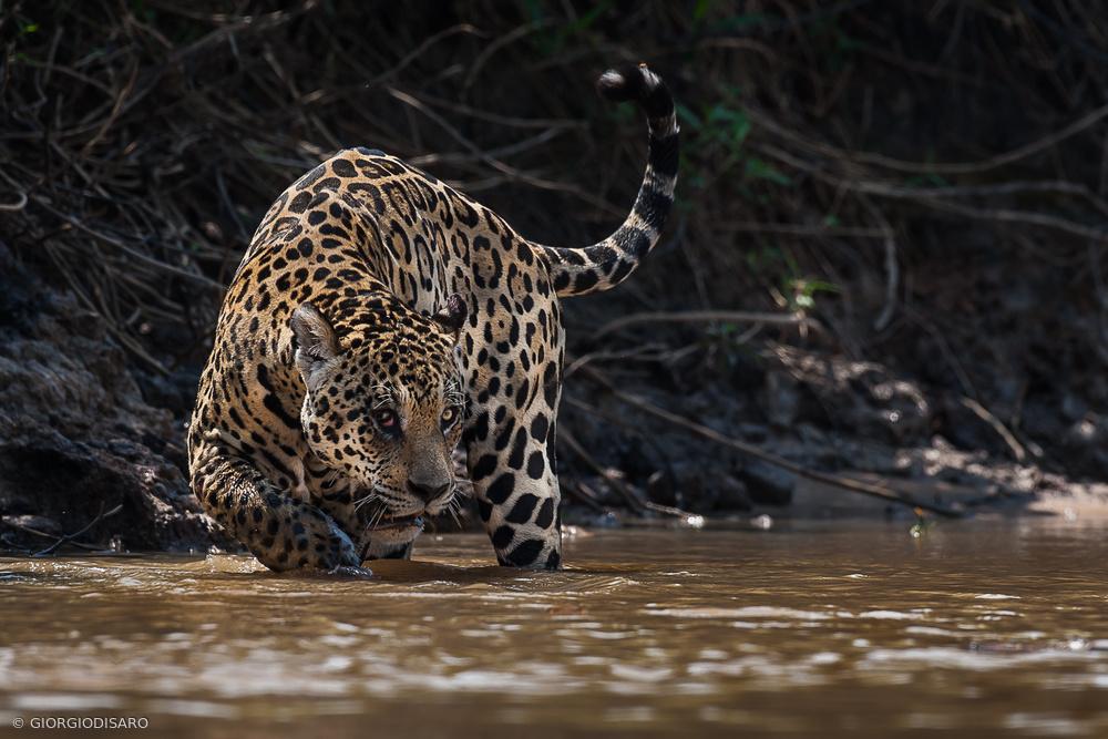 Fotokonst Jaguar king of Pantanal2