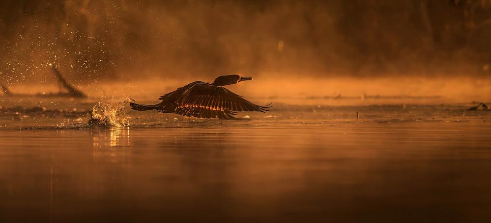 Poster Cormorant at Sunrise