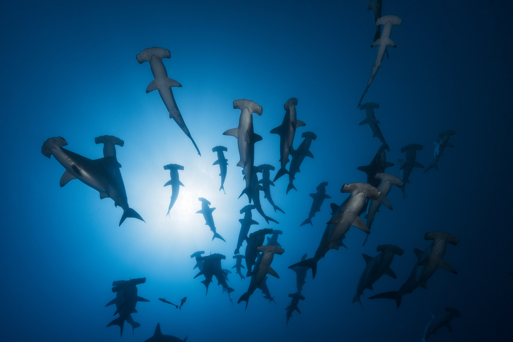 Fotokonst Hammerhead Shark - Underwater Photography