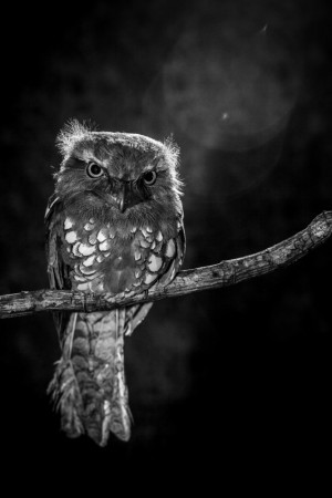 Owl in the night by wilianto