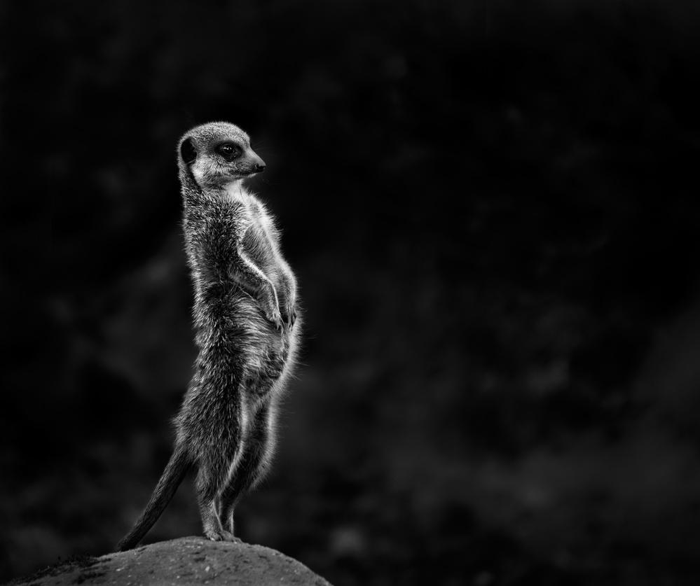 Poster The meerkat