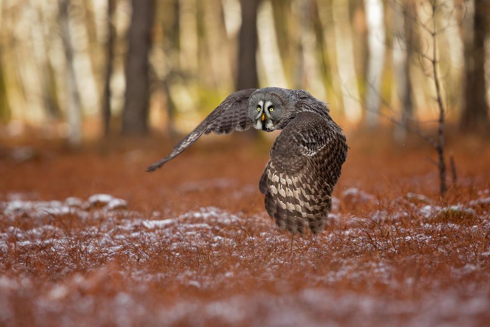 Fotokonst Great grey owl