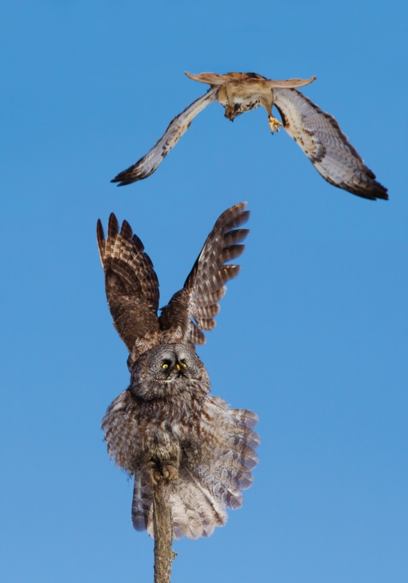 Poster Great Grey Owl VS Red-tailed Hawk