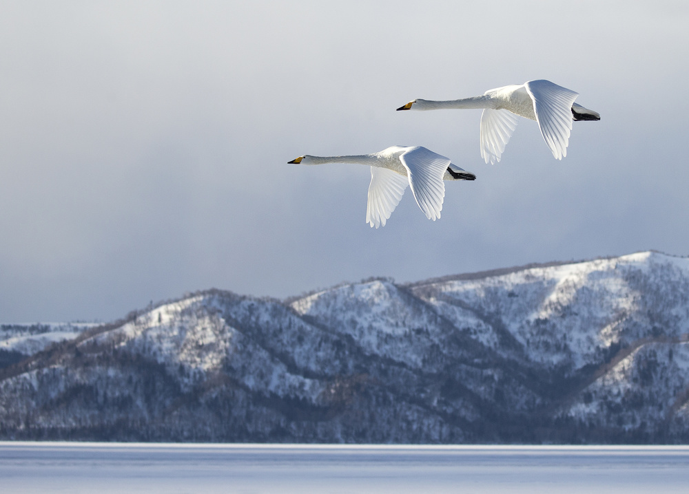 Fotokonst Swan@Kussharo Lake