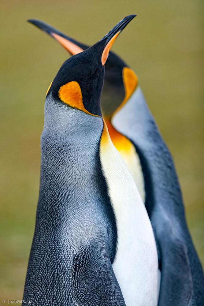Fotokonst King penguin