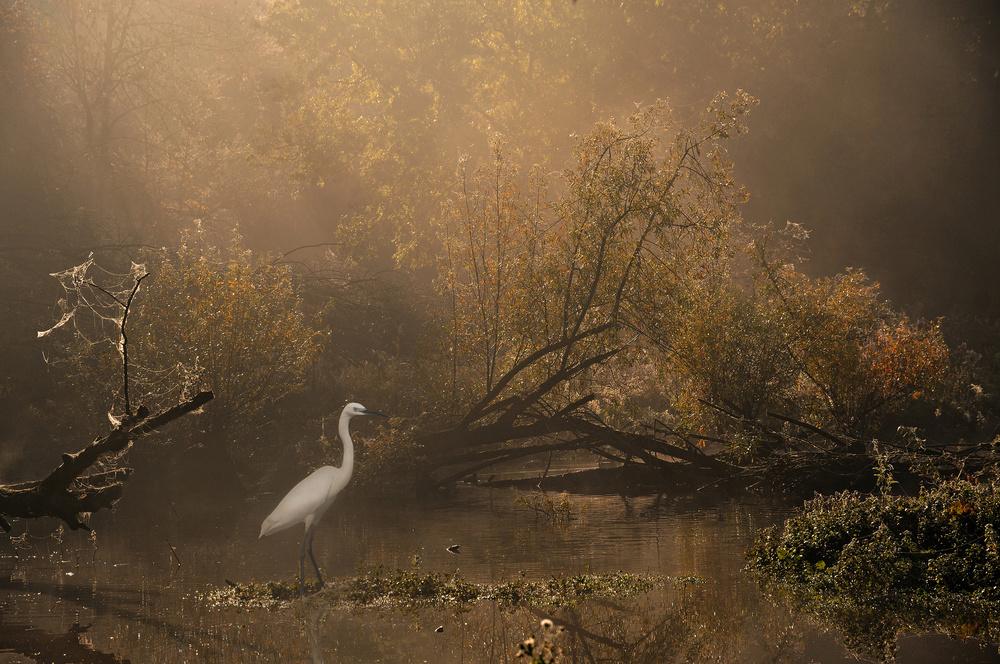 Poster Little egret