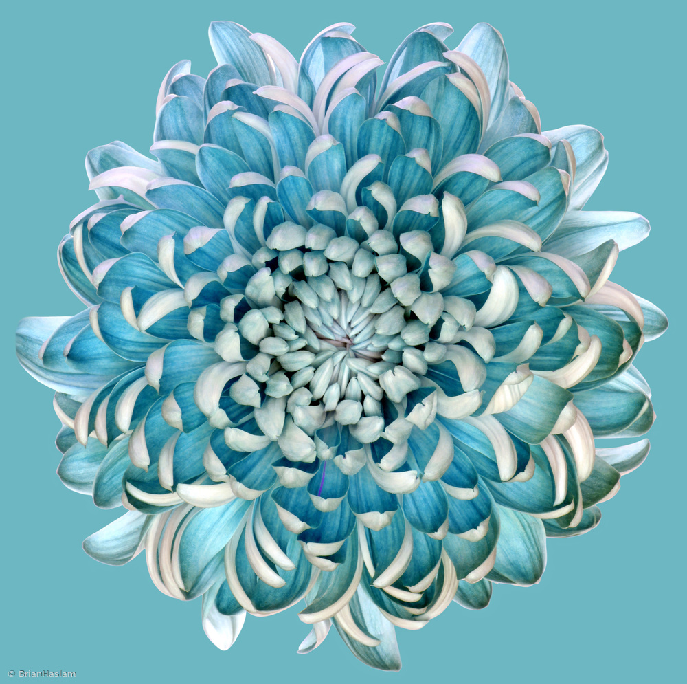 Fotokonst Blue Chrysanth