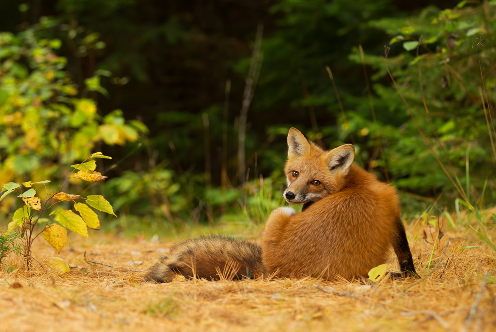 Poster Red Fox - Algonquin Park