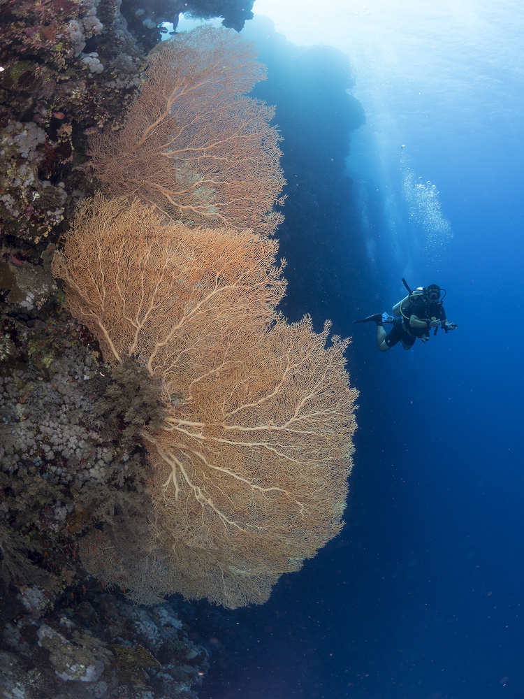 Fotokonst Gorgonian Coral and a diver