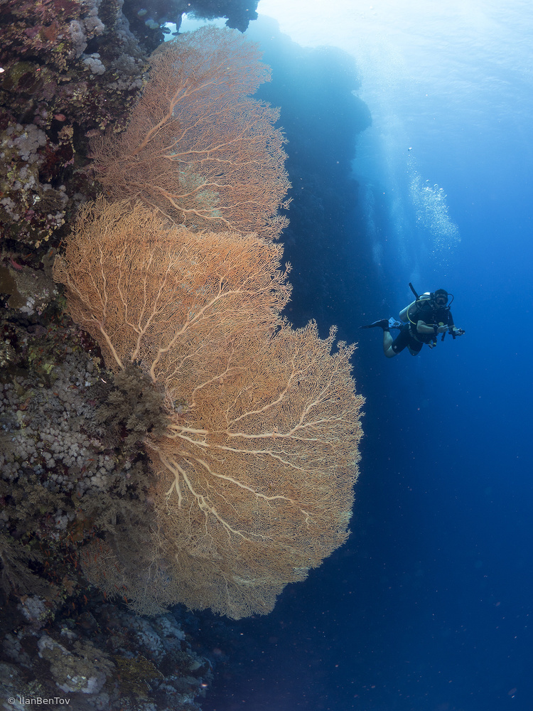 Fotokonst Gorgonian Coral and a diver